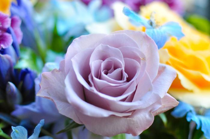 紫色のバラ02
