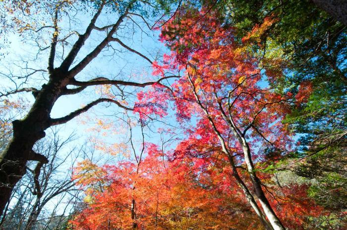 赤く色づく紅葉・軽井沢の紅葉001