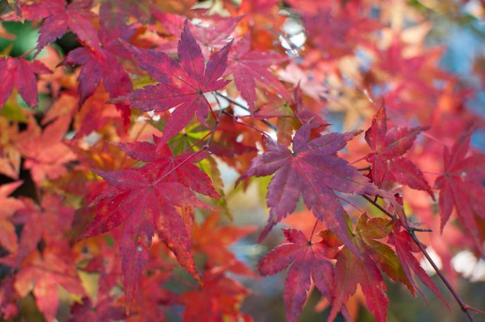 赤く色づく紅葉・軽井沢の紅葉004