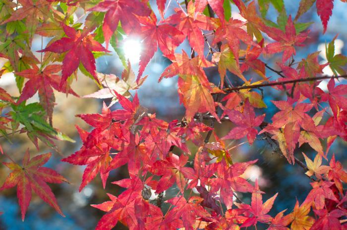 赤く色づく紅葉・軽井沢の紅葉005
