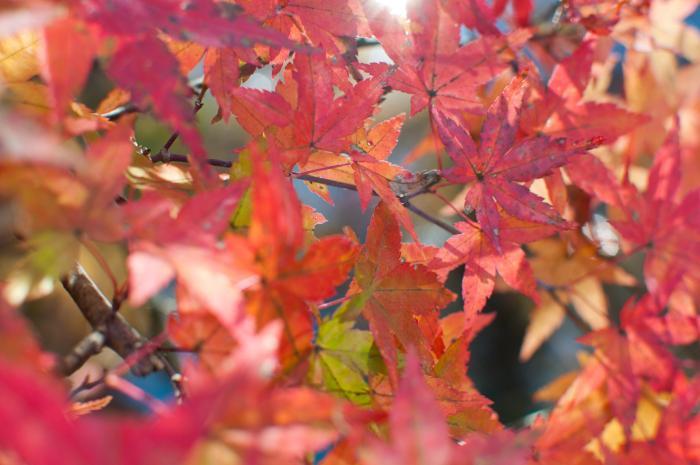 赤く色づく紅葉・軽井沢の紅葉006