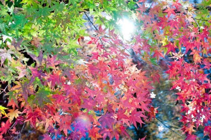 赤く色づく紅葉・軽井沢の紅葉007