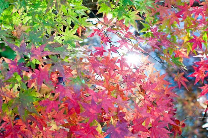 赤く色づく紅葉・軽井沢の紅葉008