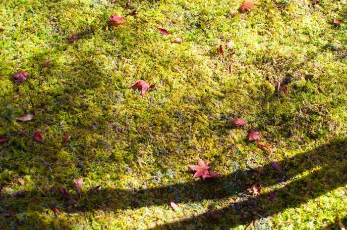 コケの上に落ちた紅葉