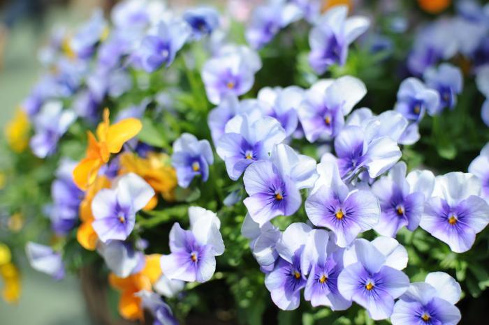 花がらを摘むと綺麗に咲き乱れます(ビオラ)