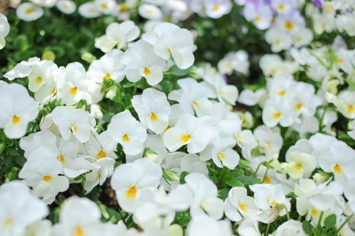 純白の花・ビオラが咲き乱れています