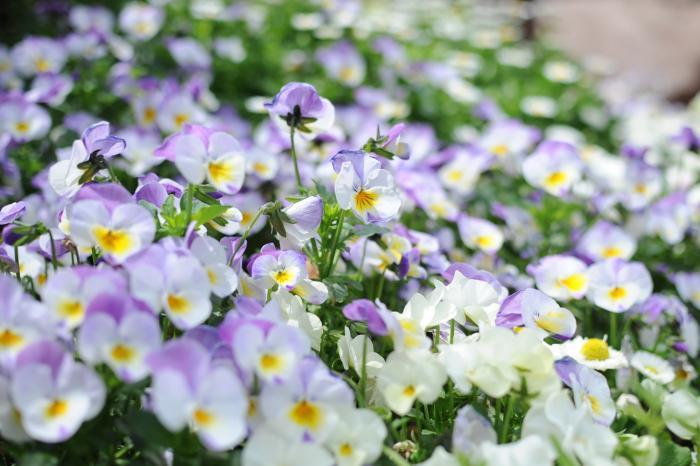 丈夫で花つきがよく花色も豊富なビオラ