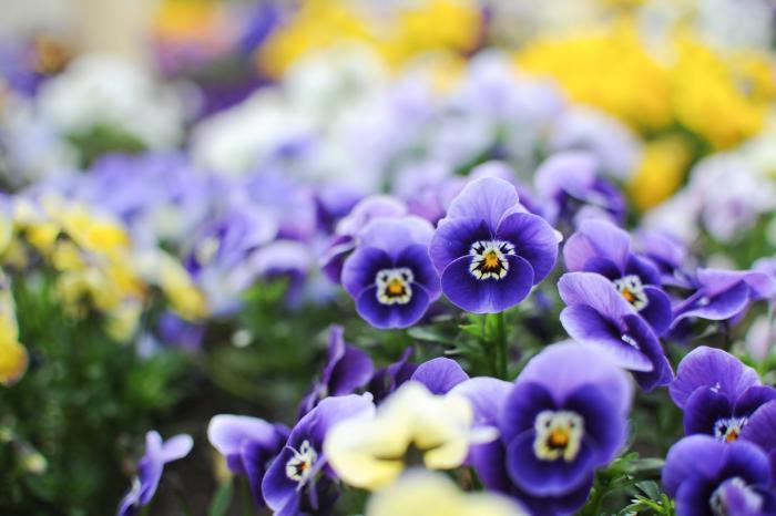オジサンの顔に見えるビオラの花