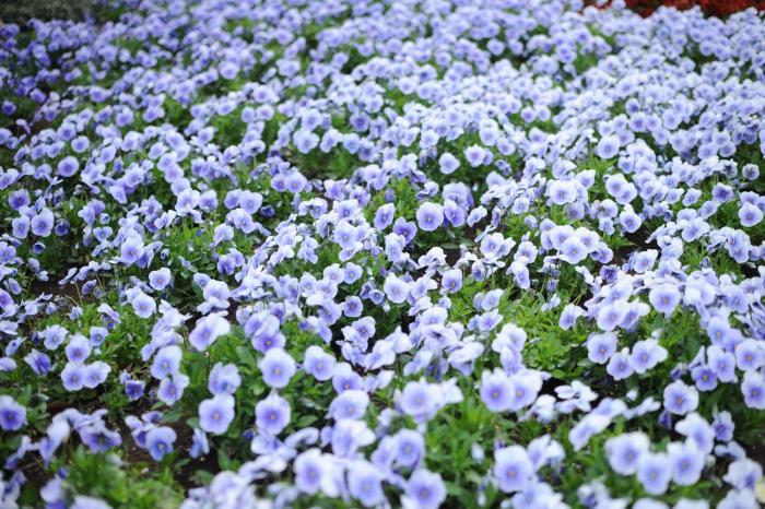 うわ~。凄い数のビオラ。咲き乱れています。