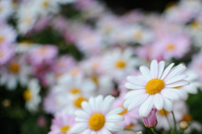 カナリア諸島が原産地のマーガレット(花)