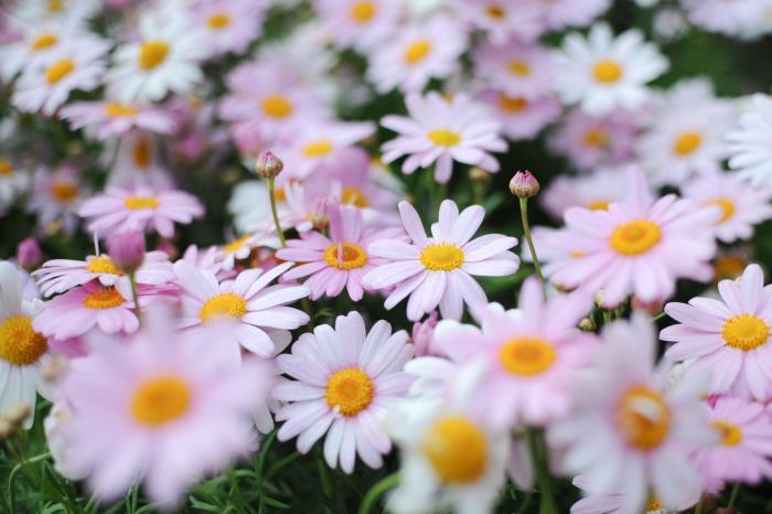 白色の一重咲きマーガレット(花)