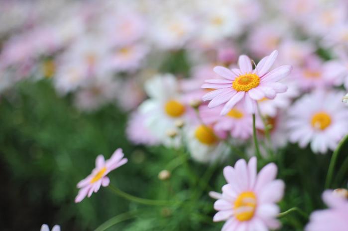 ピンク色の一重咲きマーガレット(花)