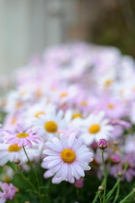 キク科・半耐寒性多年草のマーガレット(花)