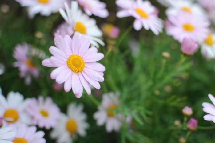 白色とピンク色の綺麗な花のマーガレット
