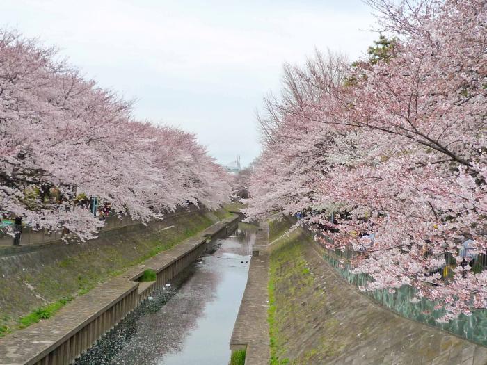 善福寺川の桜002
