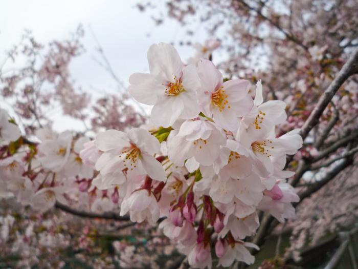 善福寺川の桜003