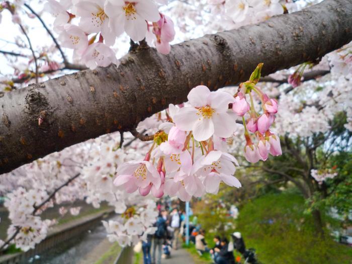 善福寺川の桜004