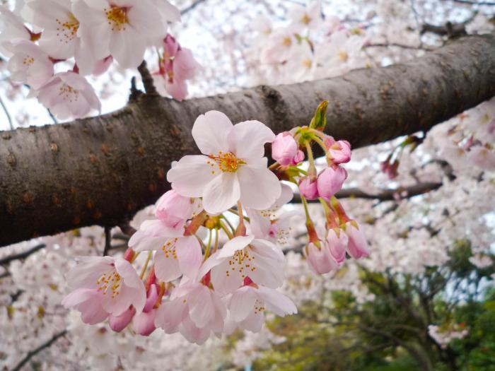 善福寺川の桜005