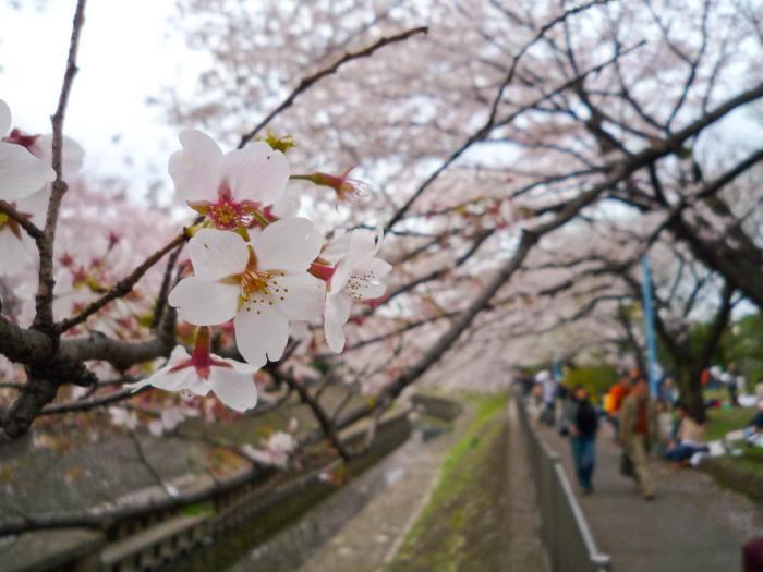 善福寺川の桜006