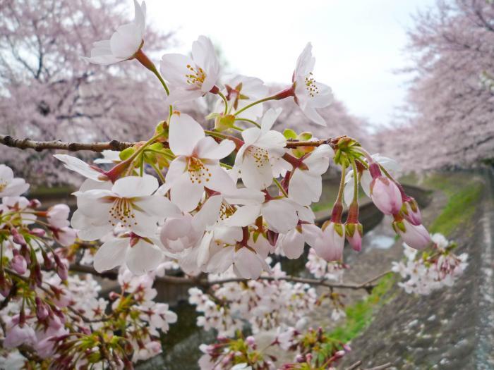 善福寺川の桜007