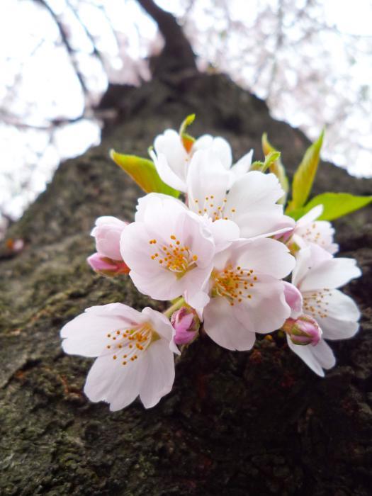 善福寺川の桜009