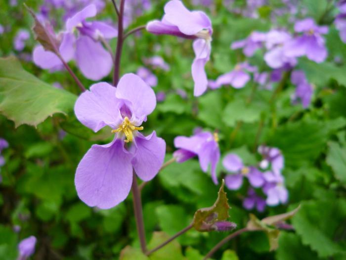 大紫羅欄花(おおあらせいとう)花大根
