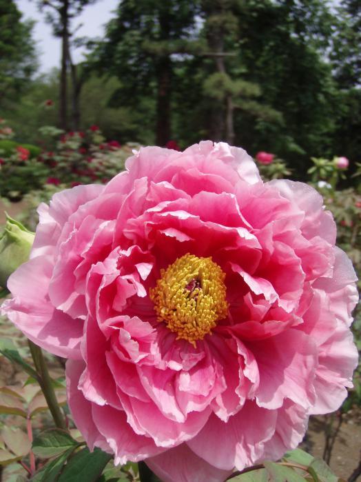 牡丹の花001