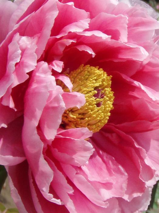牡丹の花002