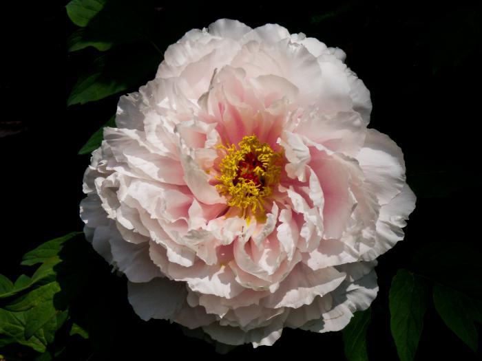 牡丹の花005