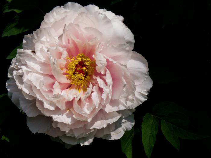 牡丹の花006