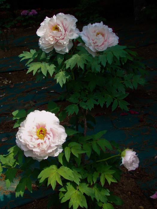 牡丹の花007