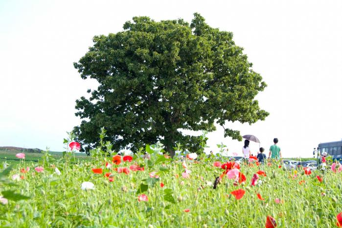 北海道のポピー畑001