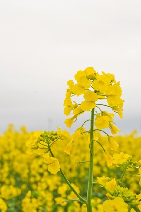 ヨーロッパ原産のアブラナ科の草花