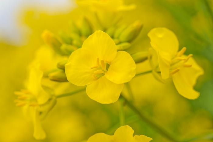 江戸時代には胡菜または菜薹と呼ばれていたそうです。
