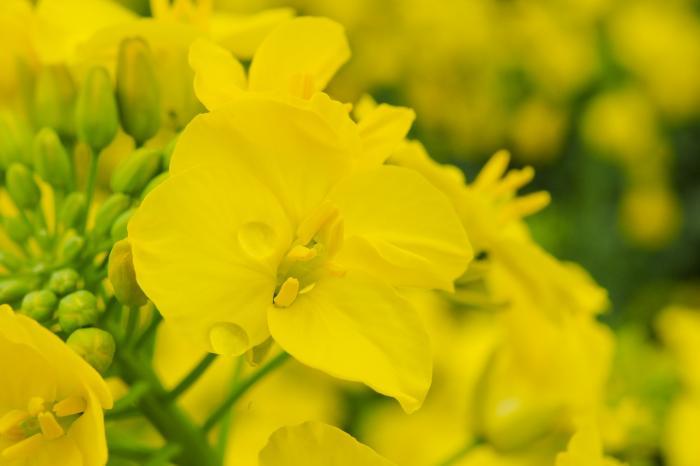 黄色の花びらに付いた水滴 マクロレンズ