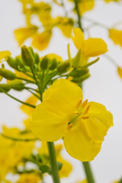 菜の花の歌「菜の花や  月は東に  日は西に」