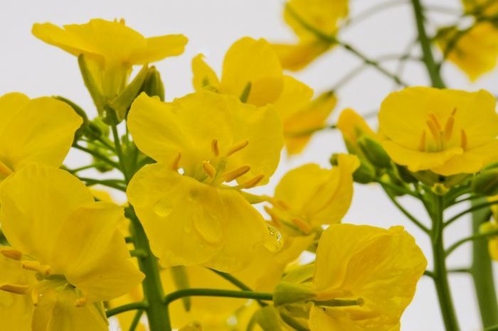 雨上がりの菜の花の花びら・水滴が落ちる