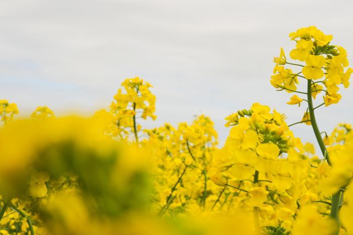 菜花(なばな)と呼ばれる菜の花