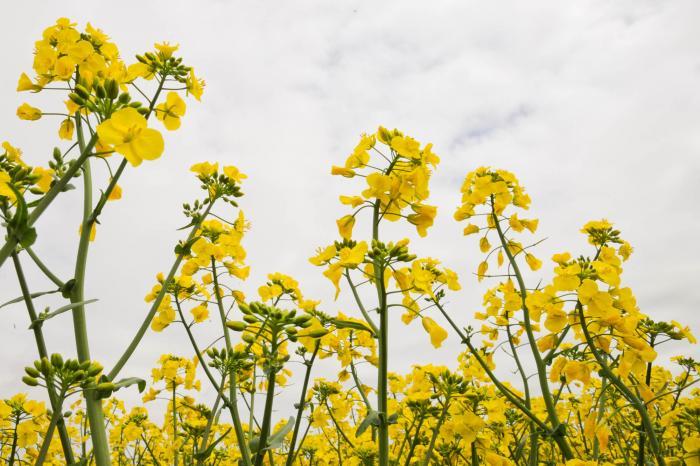 おひたしとして食される菜の花
