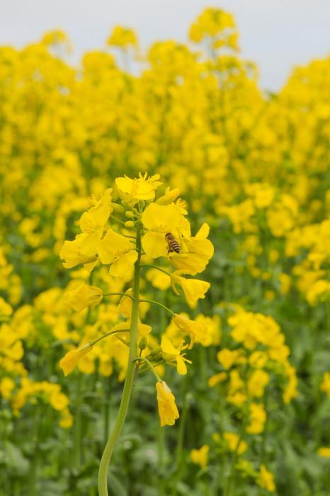 蜜の採集中!働き蜂です