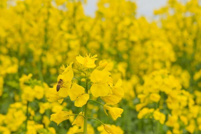 作物の受粉に欠かせないミツバチ
