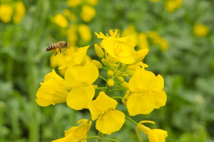 飛行中の蜜蜂が花粉を沢山集めています