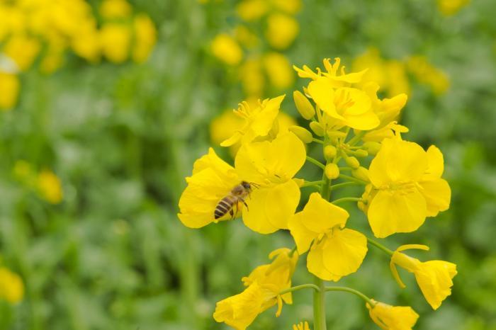 蜜蜂がお腹に沢山花粉を貯めています