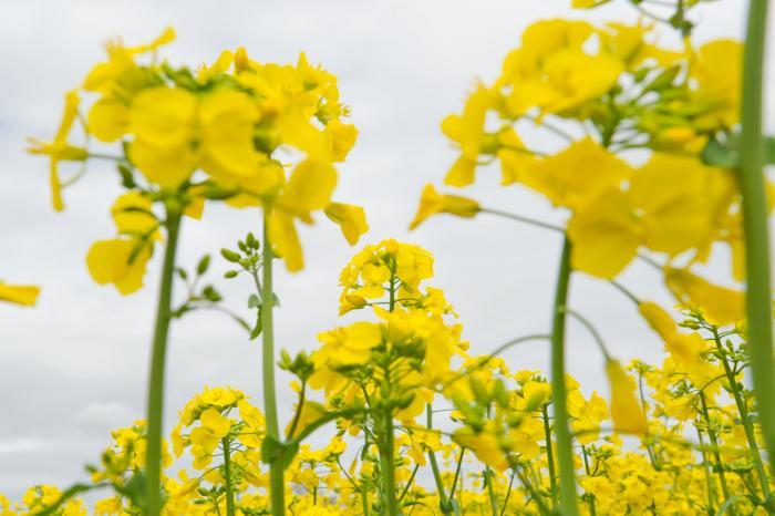 曇り空と菜の花