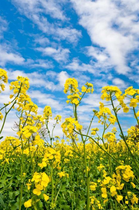 天まで伸びそうな菜の花と青空