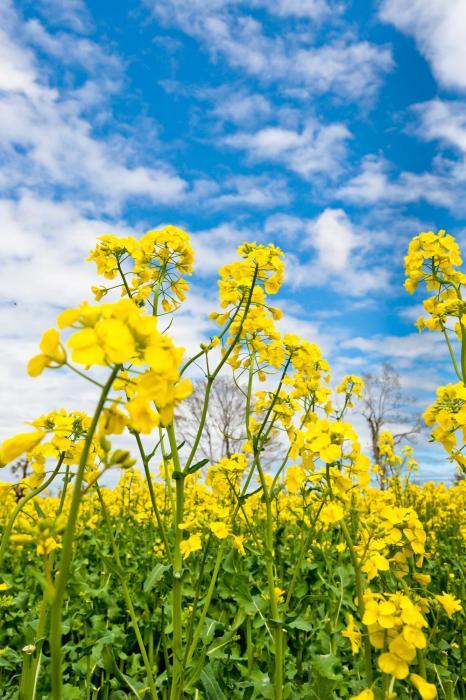 黄金色の花と青空