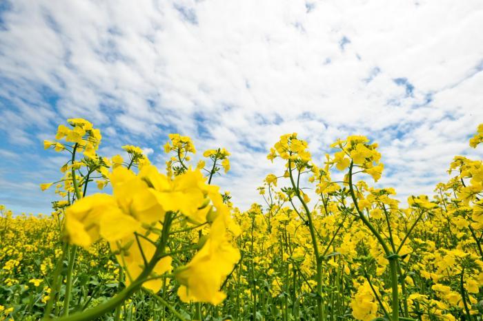 一面に広がる黄色い花
