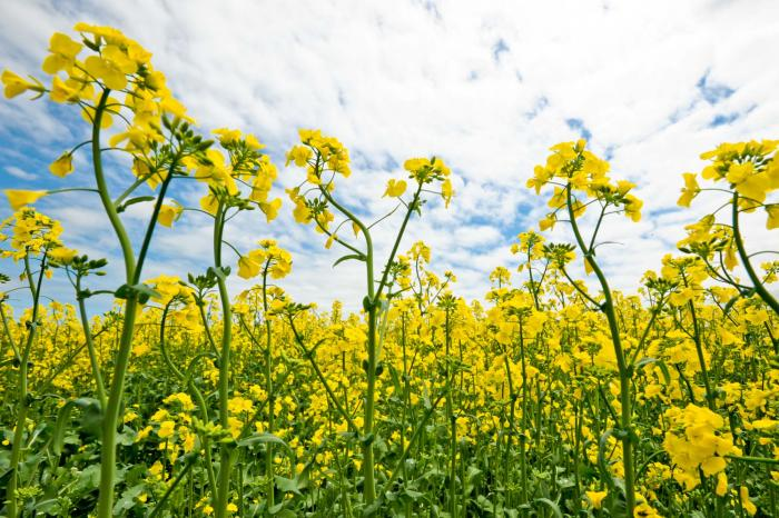 無農薬栽培の菜の花です