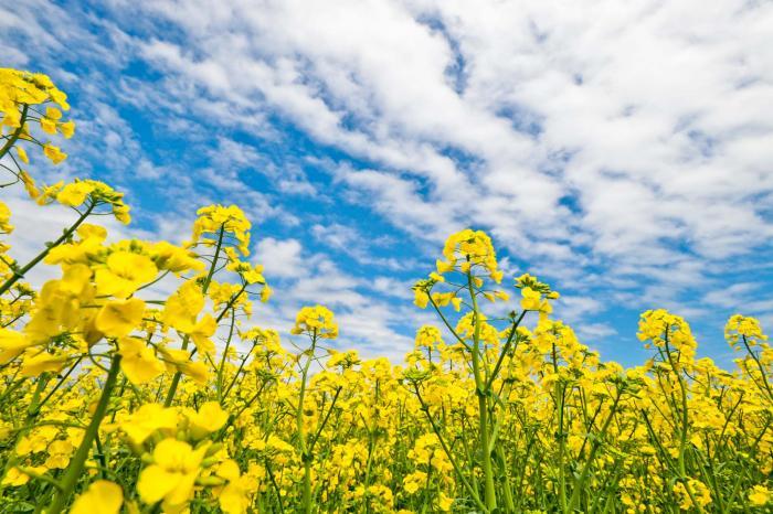 黄金色の花は豊かさの象徴