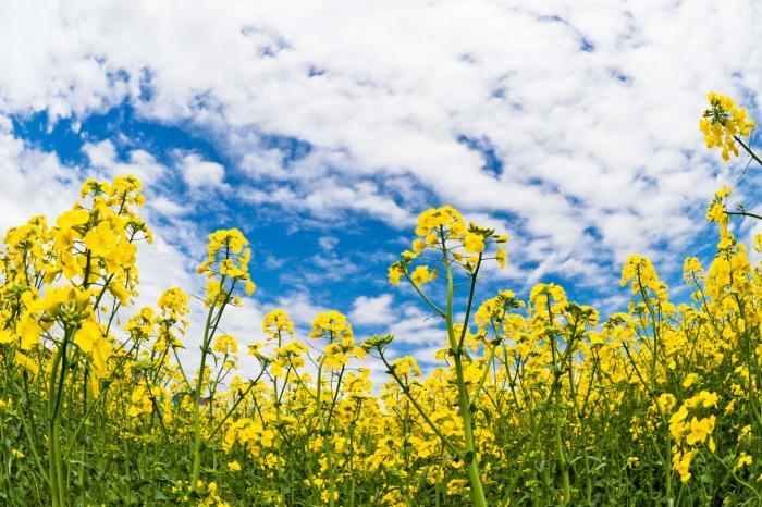 黄色い花といえばこれ